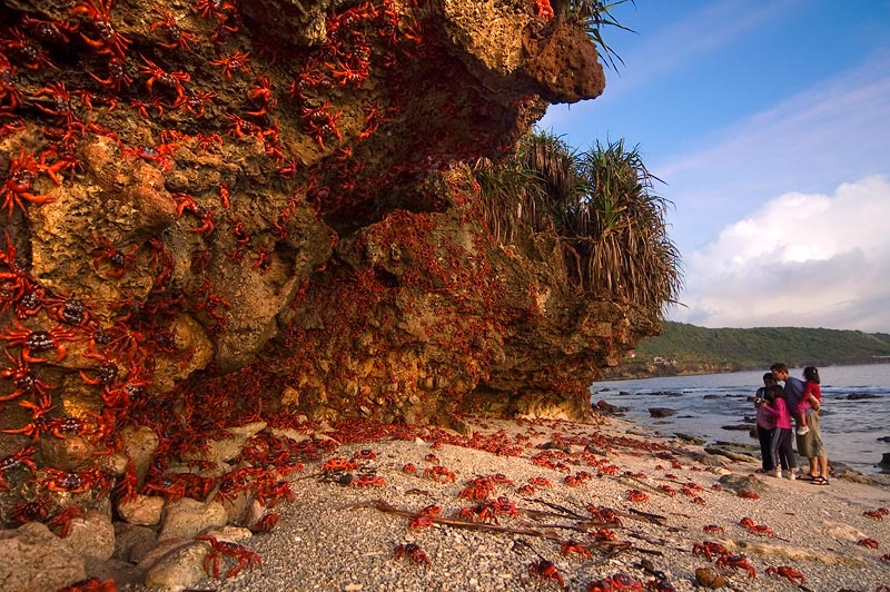 Christmas Island - Red Crabs Migration